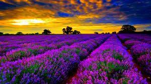 lavender, essential oils, lavender oil,